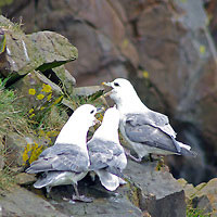 Noordse stormvogel
